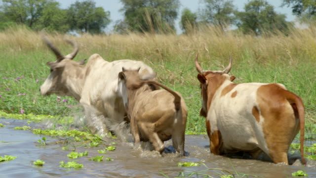 rear view of herd of cattle walking through river / sudd swamps, south sudan, africa - ökotourismus stock-videos und b-roll-filmmaterial