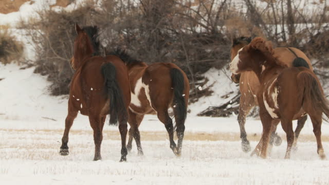 slo mo ws rear view of herd of horses being herded by cowboys in snowy landscape / shell, wyoming, usa - group of animals stock videos & royalty-free footage