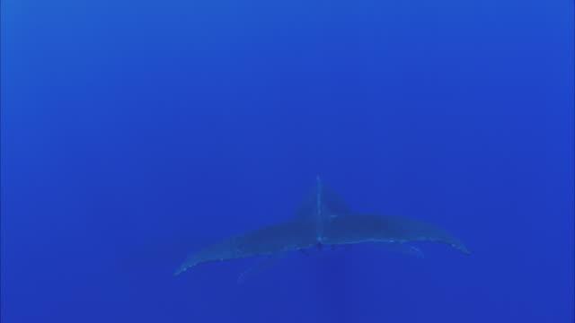 slo mo ms rear view of humpback whale (megaptera novaeangliae) swimming in ocean / moorea, tahiti, french polynesia - moorea stock videos & royalty-free footage