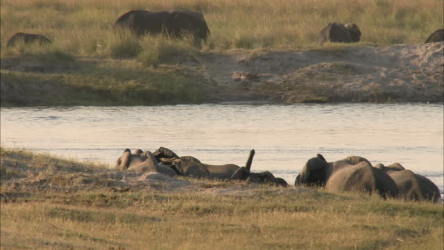 MS Rear view of Kalahari Elephant herd crossing Chobe river, Chobe National Park, Botswana