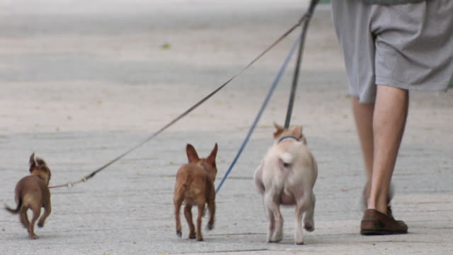 ms rear view of man walking three small dogs on leash, low section / new york city, new york, usa - 犬の散歩点の映像素材/bロール