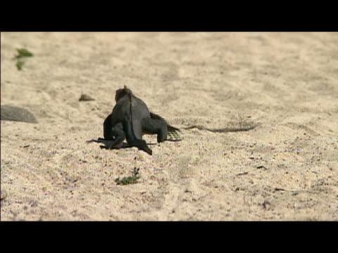 Rear view of marine iguana (Amblyrhynchus cristatus) crawling across sandy beach / Galapagos Islands