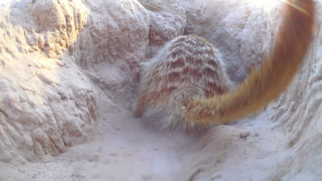 rear view of meerkat attacking mouth of burrow very close to camera - digging stock videos & royalty-free footage
