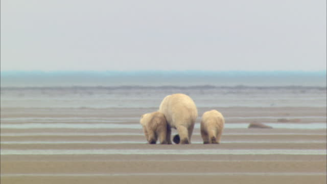 Rear View of Polar bear family waddling side by side