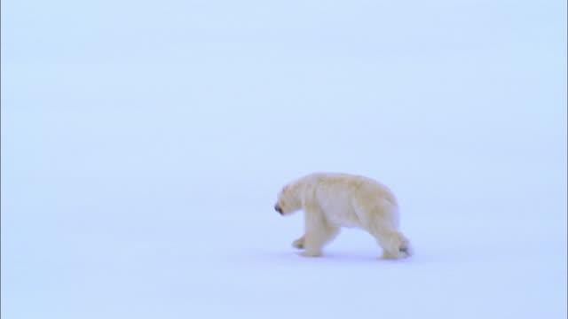 Rear view of Polar bear running alone on Arctic glacier