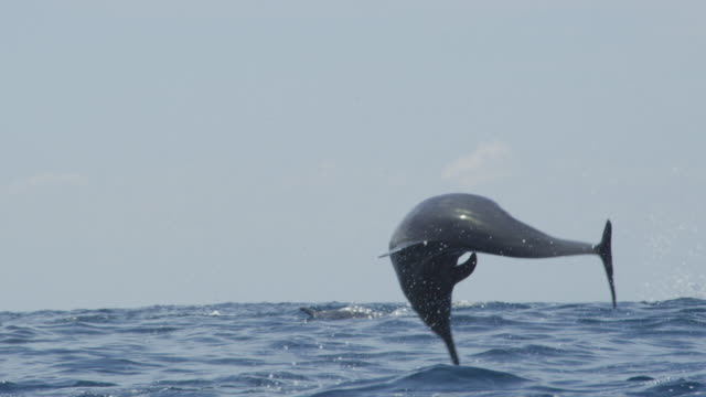 ms rear view of spinner dolphin spinning and dropping through frame - spinner dolphin stock videos & royalty-free footage