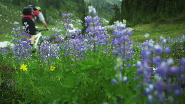 CU R/F Rear view of three people cycling on mountain trail, Wild Lupines (Lupinus perennis) growing on meadow in foreground, Coast Mountains, Squamish, British Columbia, Canada