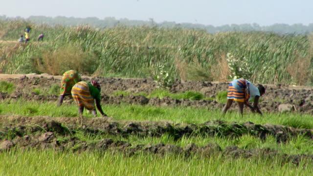 ws, rear view of three women working in field, near niono, mali - crop stock videos & royalty-free footage