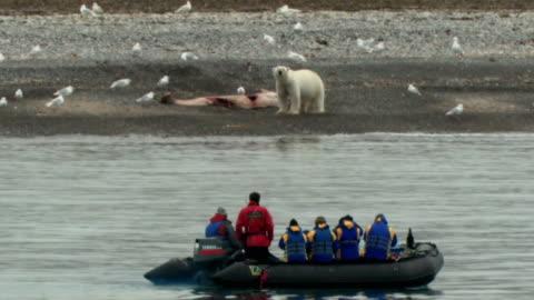 vídeos de stock e filmes b-roll de ws pan rear view of tourists on boat looking at polar bear (ursus maritimus) with whale carcass on sea shore, nunavut, canada - ártico