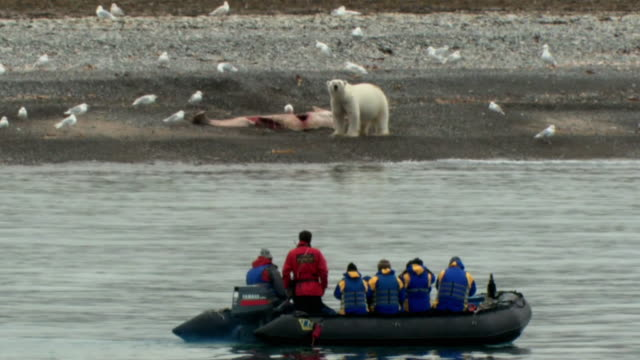 vídeos de stock, filmes e b-roll de ws pan rear view of tourists on boat looking at polar bear (ursus maritimus) with whale carcass on sea shore, nunavut, canada - clima polar