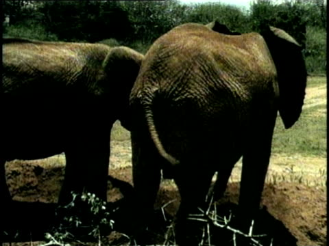 MS, Rear view of two African Elephants (Loxodonta africana) in savanna, Tsavo National Park, Kenya