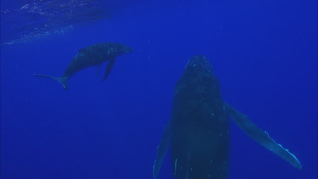 slo mo ws rear view of two humpback whales (megaptera novaeangliae) swimming in ocean / moorea, tahiti, french polynesia - young animal stock videos & royalty-free footage