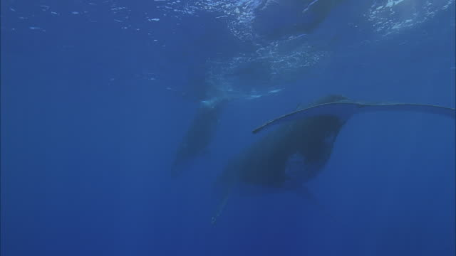 slo mo ms rear view of two humpback whales (megaptera novaeangliae) swimming in ocean / moorea, tahiti, french polynesia - tahiti stock videos & royalty-free footage