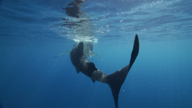 rear view of whale shark resting at the surface of the water - walhai stock-videos und b-roll-filmmaterial