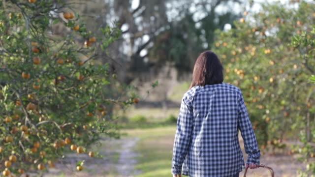 rear view of woman walking through orange grove carrying basket of oranges. - tre fjärdedels längd bildbanksvideor och videomaterial från bakom kulisserna