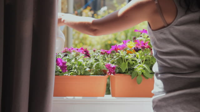 ms rear view of young woman watering pink petunias on window sill / london, united kingdom - 部屋点の映像素材/bロール