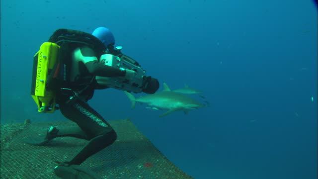 rebreather diver films silky shark kneeling on platform, saudi arabia, gulf  - silky shark stock videos & royalty-free footage