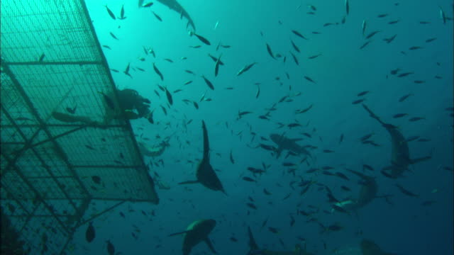 Rebreather diver films Silky sharks and platform ascent to platform with lots sharks, Saudi Arabia, Gulf