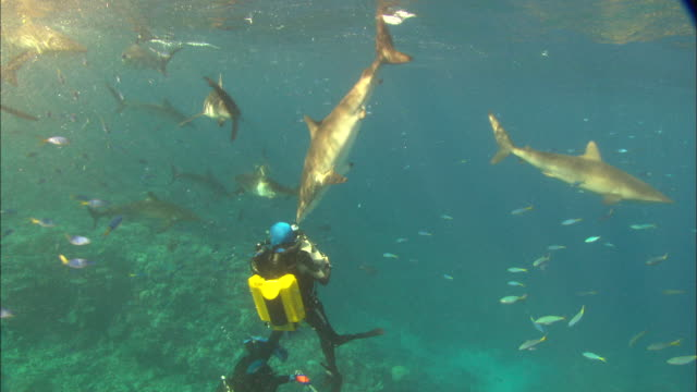 Rebreather diver films Silky sharks schooling near surface, Saudi Arabia, Gulf