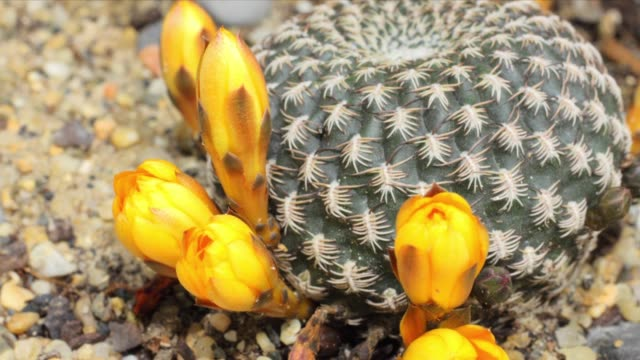vídeos de stock e filmes b-roll de rebutia blüten blooming in time lapse video - espinho