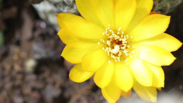 rebutia flowers blooming in time lapse video - flowering cactus stock videos & royalty-free footage