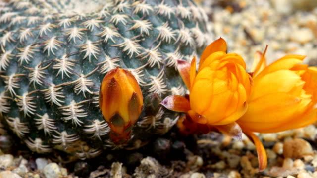 rebutia flowers blooming in time lapse video - cactus stock videos & royalty-free footage