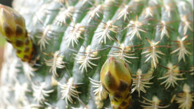rebutia flowers in bloom - cactus stock videos & royalty-free footage