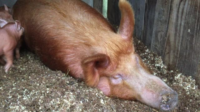 recently arrived rare breed tamworth piglets settle into their new home at the farm at the lost gardens of heligan near st austell on december 14... - st austell stock videos & royalty-free footage