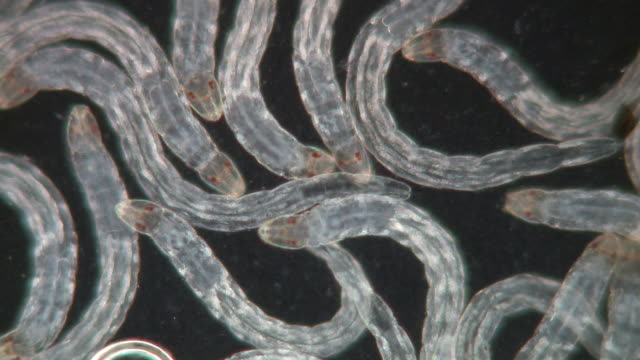 recently hatched from egg culicoides nubeculosus l1 larvae. a common species often found breeding in mud contaminated with cattle dung around farms. - biohazard symbol stock videos and b-roll footage