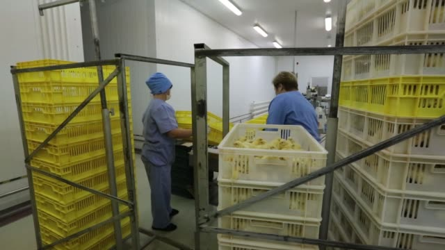 stockvideo's en b-roll-footage met recently hatched yellow chicks fall off the end of a conveyor belt at the chelnybroiler poultry farm operated by zao agrosila group in naberezhnye... - dierlijk gedrag