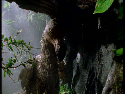 Reconstruction of a Dodo cowering under tree in a rainstorm, Mauritius