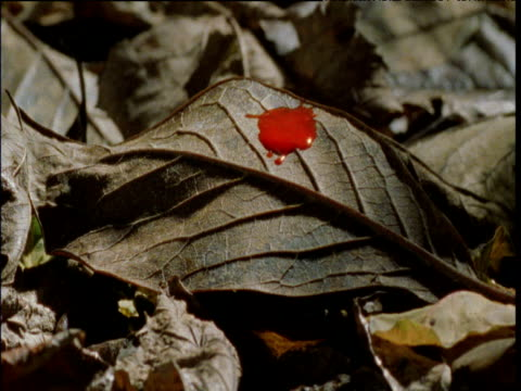 reconstruction of blood dripping onto dead leaf, ngogo - east africa stock videos & royalty-free footage