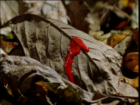reconstruction of blood dripping onto dead leaf, ngogo - blood stock videos & royalty-free footage