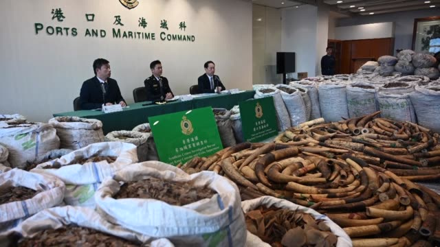 record eight tonnes of pangolin scales found in a container from nigeria are unveiled by hong kong officials underscoring the city's central role in... - pangolino video stock e b–roll