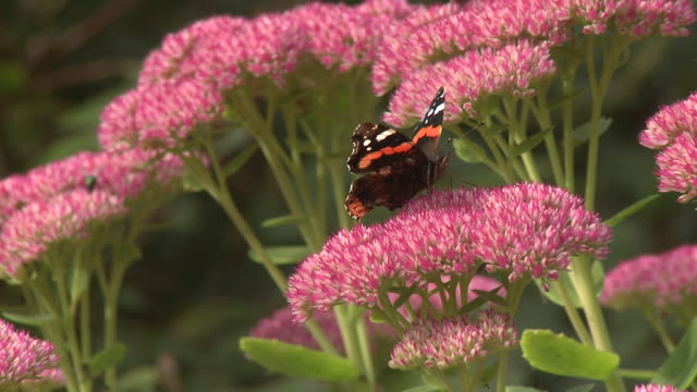 red admiral (vanessa atalanta) and comma butterfly (polygonia c-album) on sedum, pull out, uk - pull out camera movement stock videos & royalty-free footage