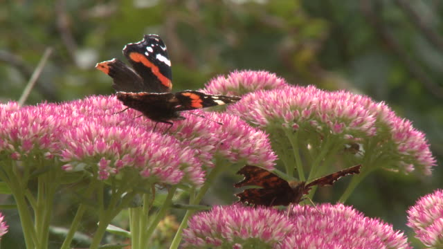 red admiral (vanessa atalanta) and comma butterfly on sedum, uk - pull out camera movement stock videos & royalty-free footage