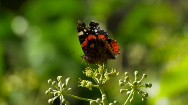 red admiral butterfly collects nectar on sunlit ivy fruit