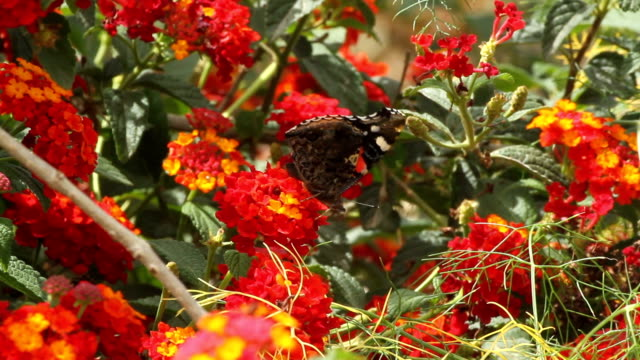 Red Admiral butterfly on a red flower
