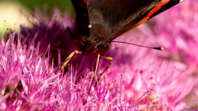 vídeos de stock e filmes b-roll de câmara lenta: borboleta almirante vermelho - um animal