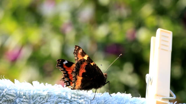 stockvideo's en b-roll-footage met red admiral butterfly - wasknijper