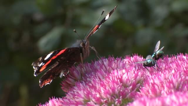 red admiral (vanessa atalanta) feeding on sedum, uk - insekt stock-videos und b-roll-filmmaterial