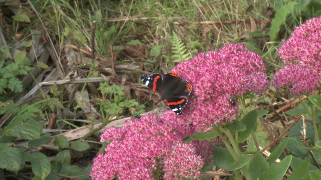red admiral (vanessa atalanta) feeding on sedum, zoom in, uk - 受粉点の映像素材/bロール