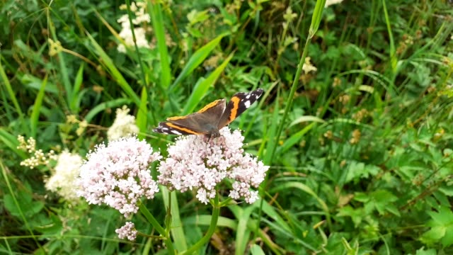 red admiral, vanessa atalanta, butterfly in ambleside, lake district, uk. - wildflower stock videos & royalty-free footage