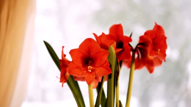 red amaryllis and snowing outside - amaryllis stock videos & royalty-free footage