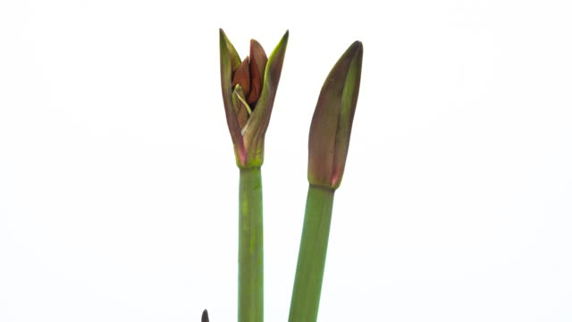 red amaryllis blooming time lapse - white background stock videos & royalty-free footage