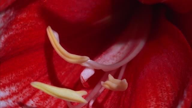 vídeos de stock e filmes b-roll de a red amaryllis blooms. available in hd. - estame