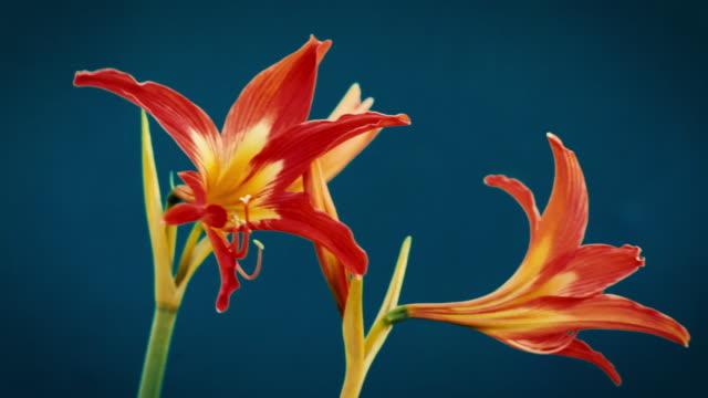 red amaryllis flower - amaryllis stock videos & royalty-free footage