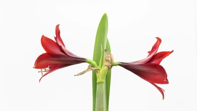 red amaryllis flower,time lapse. - amaryllis stock videos & royalty-free footage