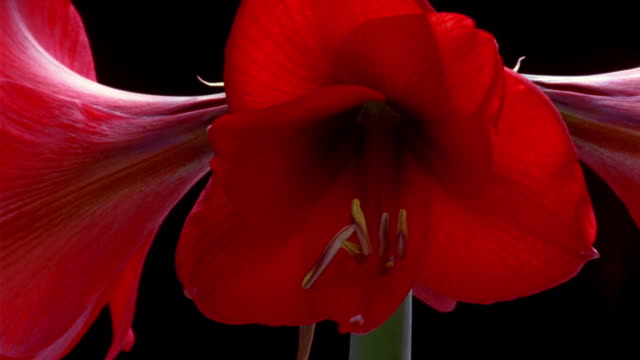t/l, ecu, red amaryllis opening and wilting - 枯れた植物点の映像素材/bロール