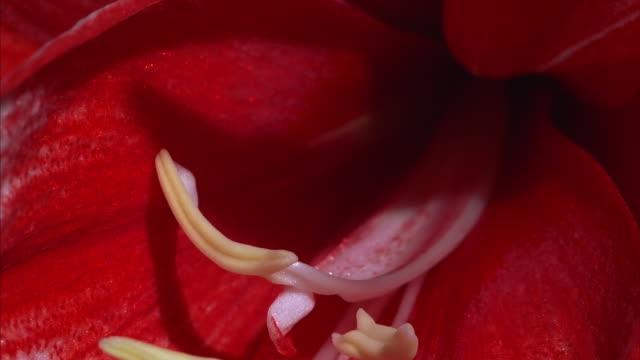 vídeos de stock e filmes b-roll de a red amaryllis opens. available in hd. - estame